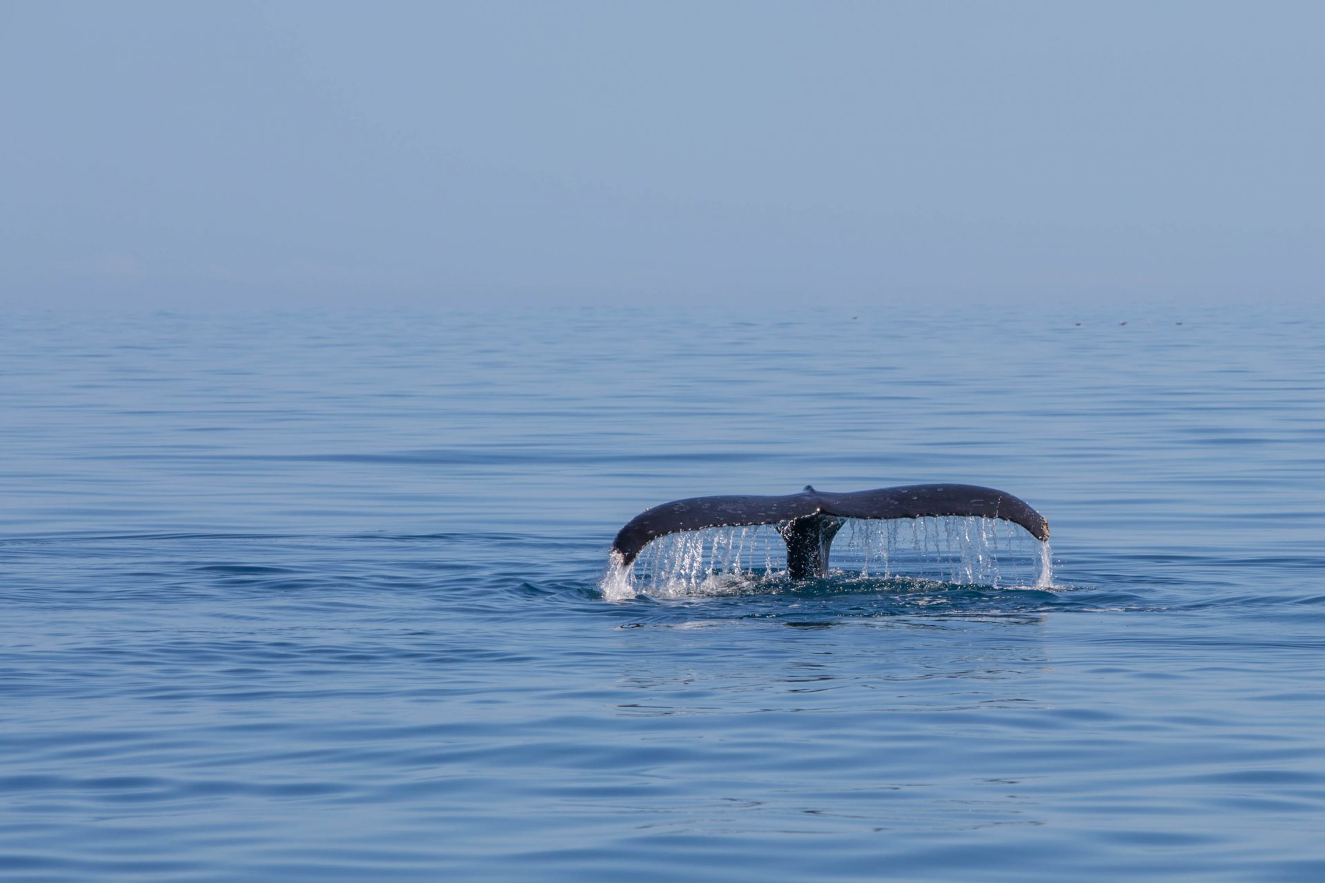 Tail of a humback whale, Hervey Bay