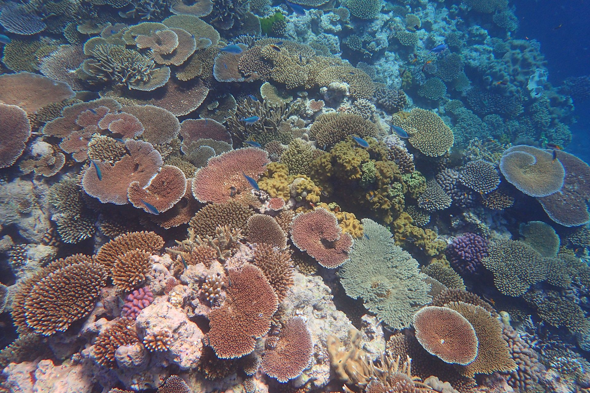 Colourful hard coral, Great Barrier Reef