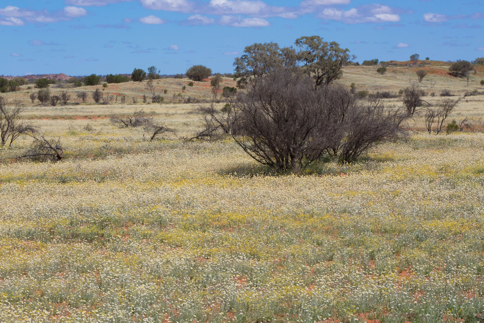 Wild flowers in the Red Centre after heavy rainfalls