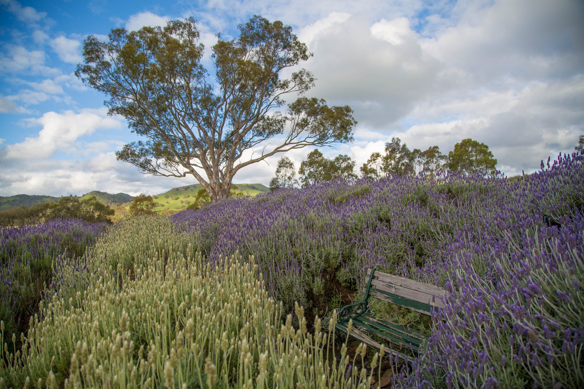Lyndoch Lavender Farm, South Australia